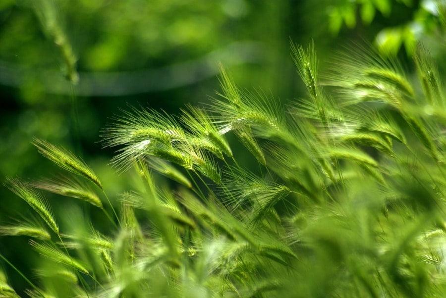 Cămara naturii, leacurile din bătrâni – Pulbere din ovăz verde