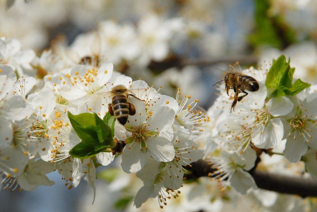 Apiterapia – terapia cu venin de albine