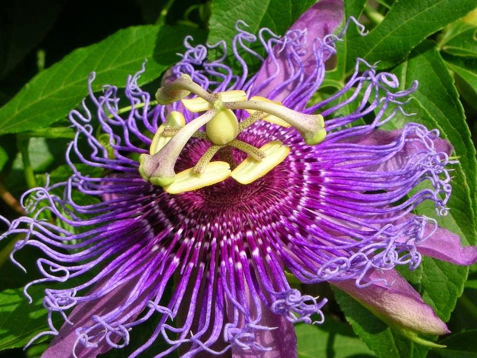 Floarea patimilor sau passiflora incarnata